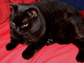 British Shorthair Cat NOX