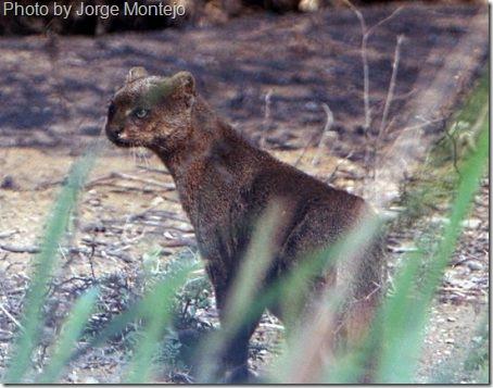 jaguarundi-5