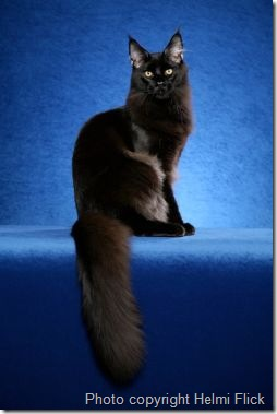 black-maine-coon-cat-s