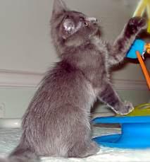 Adoptable FeLV Cats