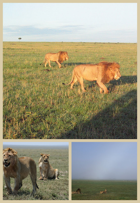 Lions in Masai Mara, Okavango Delta and Serengeti a collage