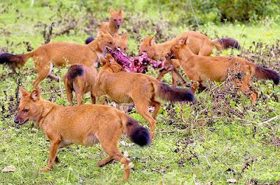 Dholes wild dogs
