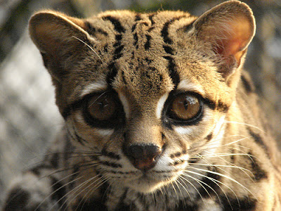 margay cat looking straight at the camera
