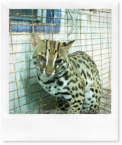 Leopard cat at a Malaysian zoo