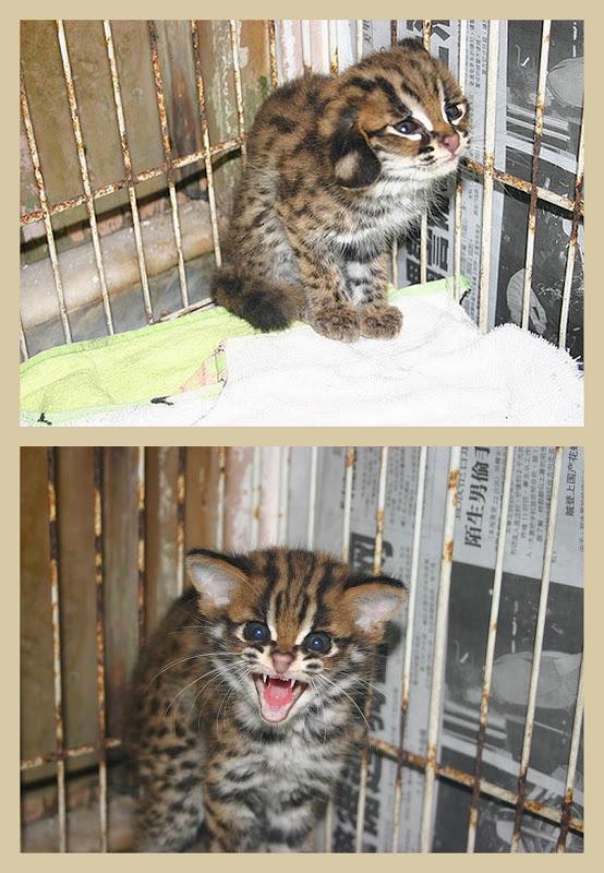 Frightened asian leopard cat kitten in a collage