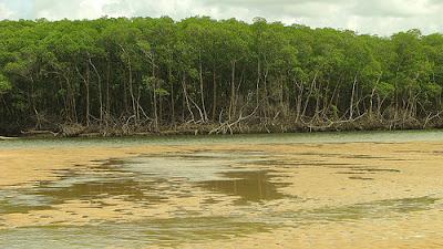 mangrove forest Brazil