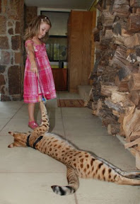 MAGIC the F1 Savannah cat from A1 Savannahs with Leonie the Stucki's daughter