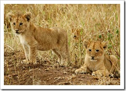 Lion picture from the serengeti national park photo by whatchamakallit