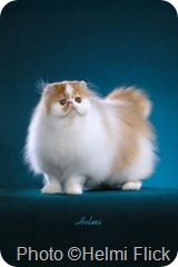 Modern Ultra persian cat