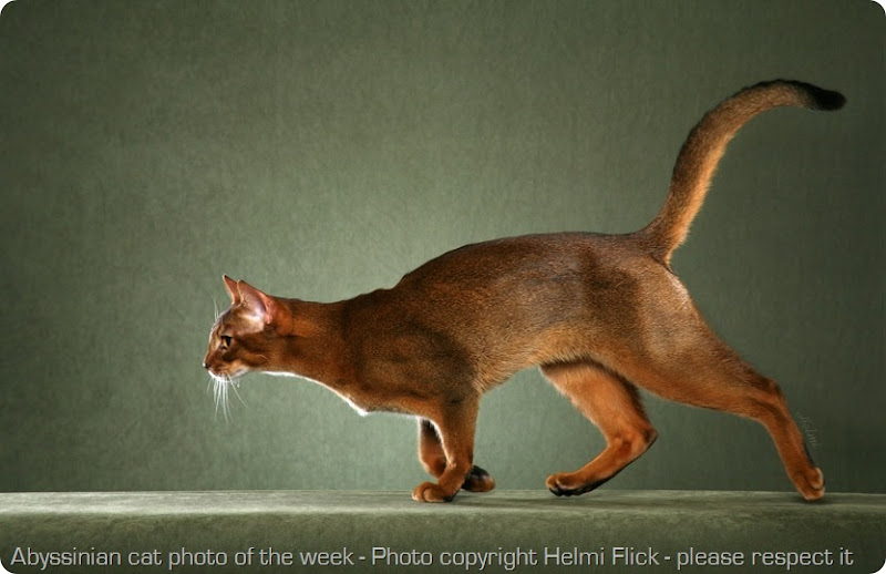 abyssinian-cat-photo-of-the-week