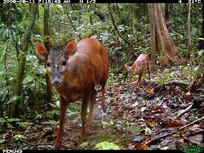 Red Brocket deer a gourmet meal for the puma in the Amazon