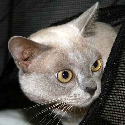 Burmese cat at a cat show