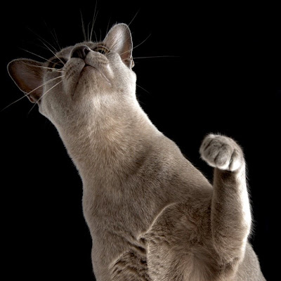 Burmese cat on hind legs reaching up