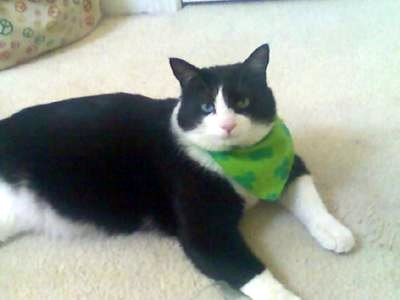 Garcia a large black and white domestic cat