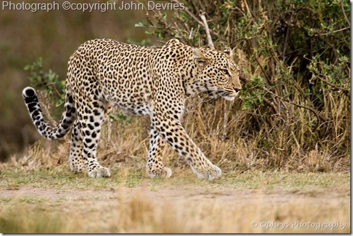 leopard picture of leopard walking and well camouflaged