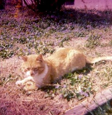 Topaz a polydactyl feral cat