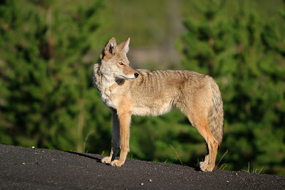 Coyote on rocks in the sun