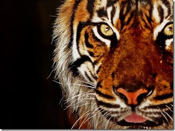 tiger wallpaper image