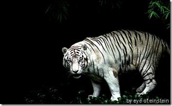 white tiger wallpaper 1