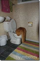 cat drinking from a toilet
