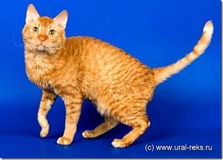 Ural Rex cat Khan