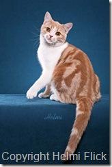 American Shorthair cat Champ beauty shot