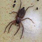 Flat-bark Spider