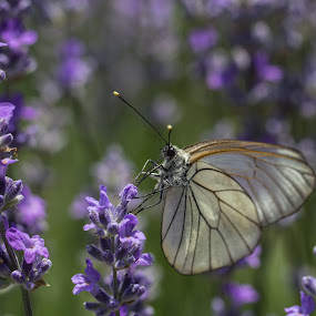Alice in Lavenderland by Eva Lechner - Animals Insects & Spiders ( butterfly, macro, black-veined white, aporia crataegi, lavender )