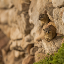 Cape or Rock Hyrax