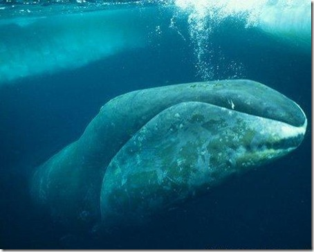 7 Animals With the Longest Life Spans - bowheadwhale