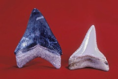 Fossil Megatooth Shark (Carcharodon megalodon) and modern Great White Shark teeth