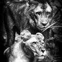 African Lion, Lioness