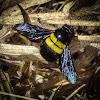 Afrotropical Carpenter Bee (female)