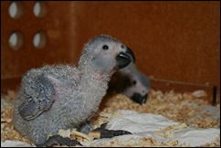 African Grey Chick with reduced crop