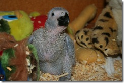 African Grey Chick with full crop