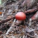 Sickener Mushroom