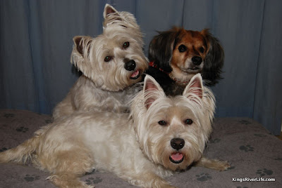 Shane and her Westie sisters