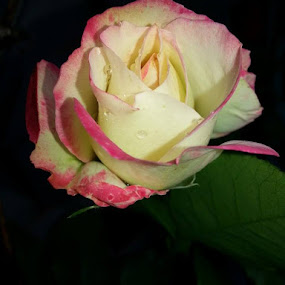 Rose bush is blooming....love it! by Bonnie Christner - Nature Up Close Other plants