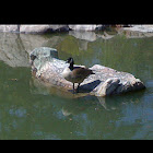 Canada goose (or possibly cackling goose)