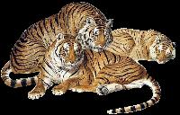 tigres misimagenesdivertidas.blogspot (7)
