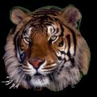 tigres misimagenesdivertidas.blogspot (10)