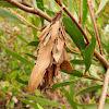 Full leaf casemoth