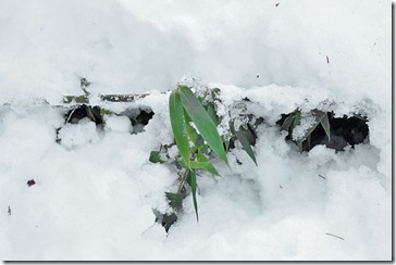 101125_black_bamboo_in_snow