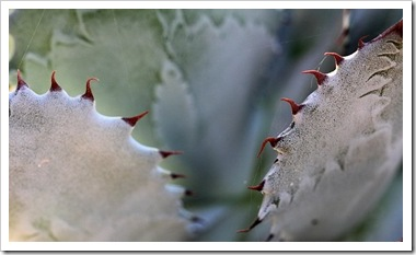 101020_agave_potatorum