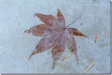 101125_maple_leaf_in_ice