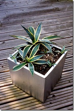 steel container with Agave