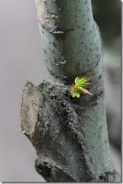 110316_green_acer_11