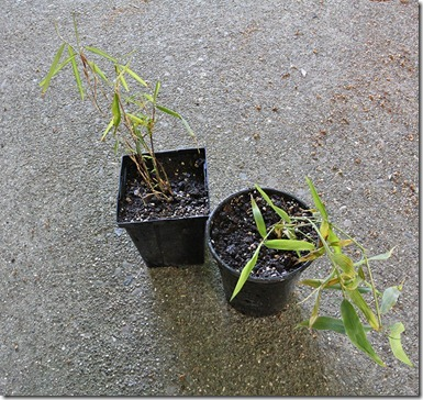 110428_Fargesia_nitida_left_Phyllostachys_kwangsiensis_right
