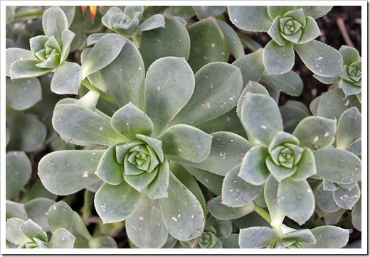 110519_hail_damage_aeonium_haworthii_01