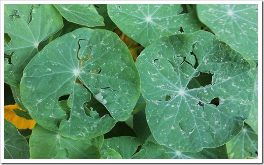 110519_hail_damage_nasturtiums_02